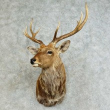 Sika Deer Shoulder Mount For Sale #16142 @ The Taxidermy Store