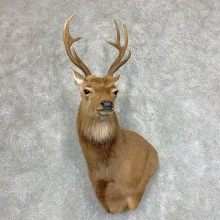 Sika Deer Shoulder Mount For Sale #21945 @ The Taxidermy Store