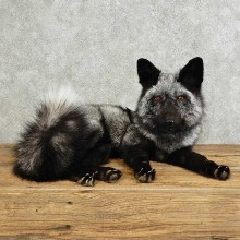 Silver Fox Life-Size Taxidermy Mount For Sale