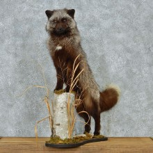 Silver Fox Life Size Taxidermy Mount #13084 For Sale @ The Taxidermy Store