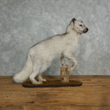 Standing Silver Fox Life-Size Taxidermy Mount For Sale