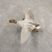 Silver Mallard Duck Flying Taxidermy Mount #20695 for sale @ The Taxidermy Store