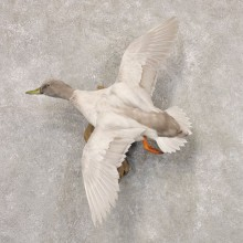 Silver Mallard Duck Flying Taxidermy Mount #22529 for sale @ The Taxidermy Store