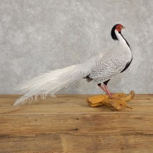 Silver Pheasant Taxidermy Bird Mount #20241 For Sale @ The Taxidermy Store