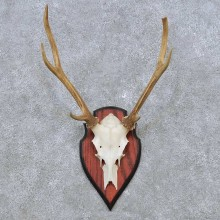 Sika Deer Skull Antler European Mount For Sale #14507 @ The Taxidermy Store