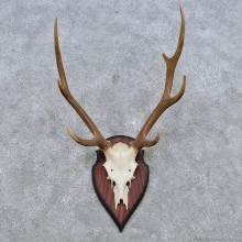 Sika Deer Skull Antler European Mount For Sale #14552 @ The Taxidermy Store