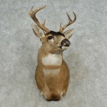 Sitka (Blacktail) Deer Shoulder Taxidermy Mount For Sale