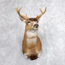 Sitka (Blacktail) Deer Shoulder Taxidermy Mount For Sale