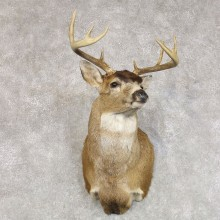 Sitka Blacktail Deer Shoulder Mount For Sale #22275 For Sale @ The Taxidermy Store
