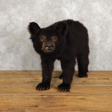 Sitting Black Bear Cub Mount #18789 For Sale @ The Taxidermy Store