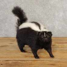 Skunk Life-Size Taxidermy Mount #21307 For Sale @ The Taxidermy Store