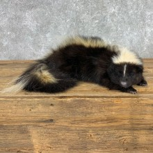 Skunk Life-Size Taxidermy Mount #22151 For Sale @ The Taxidermy Store