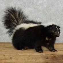 Life-Size Skunk Taxidermy Mount #17165 For Sale @ The Taxidermy Store