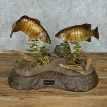 Smallmouth Bass Pair Taxidermy Mount #13679 For Sale @ The Taxidermy Store