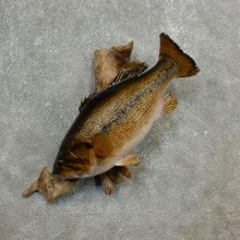 Largemouth Bass Fish Mount For Sale #17795 @ The Taxidermy Store