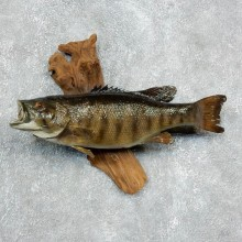 "21.25"" Small mouth Bass Taxidermy Fish Mount For Sale"