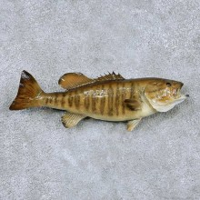 Smallmouth Bass Taxidermy Fish Mount #13873 For Sale @ The Taxidermy Store