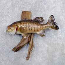 Smallmouth Bass Fish Mount For Sale #18693 @ The Taxidermy Store