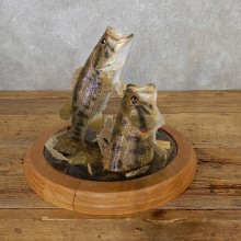Smallmouth Bass Fish Mount For Sale #19084 @ The Taxidermy Store
