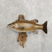 Smallmouth Bass Taxidermy Fish Mount #20905 For Sale @ The Taxidermy Store