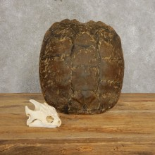 Snapping Turtle Skull & Shell Taxidermy  Mount For Sale - #21293