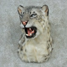 Snow Leopard Shoulder Taxidermy Mount #13234 For Sale @ The Taxidermy Store