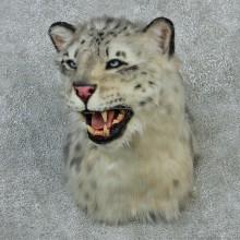 Snow Leopard Taxidermy Shoulder Mount #12917 For Sale @ The Taxidermy Store