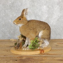 Snowshoe Hare Rabbit Mount #19697 For Sale @ The Taxidermy Store