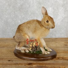 Snowshoe Hare Rabbit Mount #19699 For Sale @ The Taxidermy Store