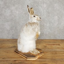 Snowshoe Hare Rabbit Mount #20312 For Sale @ The Taxidermy Store