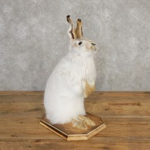 Snowshoe Hare Rabbit Mount #20313 For Sale @ The Taxidermy Store
