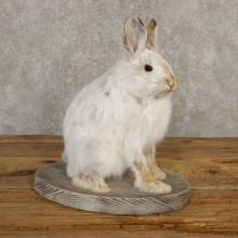 Snowshoe Hare Rabbit Mount #20399 For Sale @ The Taxidermy Store