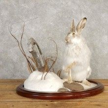 Snowshoe Hare Rabbit Mount #20400 For Sale @ The Taxidermy Store