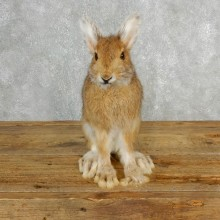 Snowshoe Hare Rabbit Mount #17846 For Sale @ The Taxidermy Store