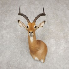 South African Impala Pedestal Shoulder Mount For Sale #20535 @ The Taxidermy Store