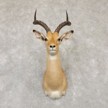 South African Impala Shoulder Mount For Sale #20145 @ The Taxidermy Store