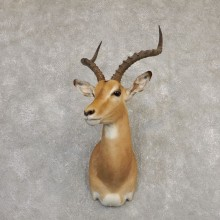 South African Impala Shoulder Mount For Sale #20292 @ The Taxidermy Store