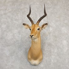 South African Impala Shoulder Mount For Sale #20293 @ The Taxidermy Store