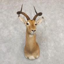 South African Impala Shoulder Mount For Sale #20294 @ The Taxidermy Store