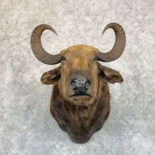 South American Water Buffalo Shoulder Mount For Sale #21742 For Sale @ The Taxidermy Store
