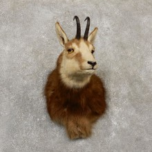 South Pacific Chamois Taxidermy Shoulder Mount For Sale