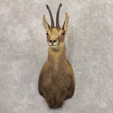 South Pacific Chamois Shoulder Mount For Sale #22162 @ The Taxidermy Store