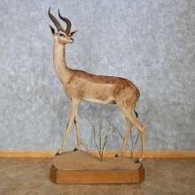 Southern Gerenuk Life-Size Mount For Sale #15086 @ The Taxidermy Store