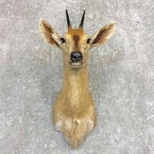 Southern Bush Duiker Shoulder Mount For Sale #22100 @ The Taxidermy Store