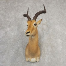 Southern Impala Shoulder Mount For Sale #21098 @ The Taxidermy Store