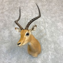 Southern Impala Shoulder Mount For Sale #22101 @ The Taxidermy Store