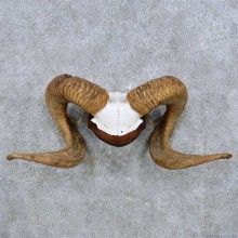 Corsican Ram Horn Plaque Taxidermy Mount For Sale #14484 @ The Taxidermy Store