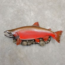 Spawning Phase Coho Salmon Fish Mount For Sale #20575 @ The Taxidermy StoreSpawning Phase Coho Salmon Fish Mount For Sale #20575 @ The Taxidermy Store