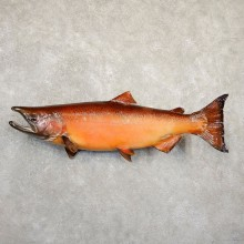Spawning Phase King Salmon Fish Mount For Sale #20842 @ The Taxidermy Store