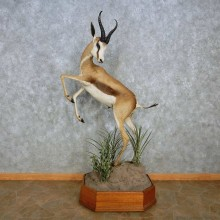 African Springbok Life-Size Taxidermy Mount For Sale